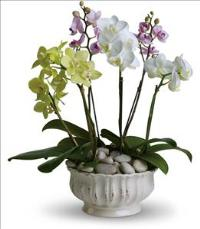 Regal Orchids by The Foliage Shoppe