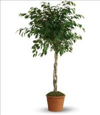 Towering Ficus by The Foliage Shoppe