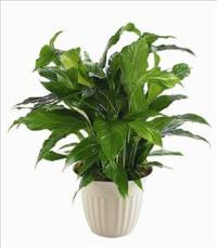 """Peace Lily"" Spathiphyllum Plant by The Foliage Shoppe"