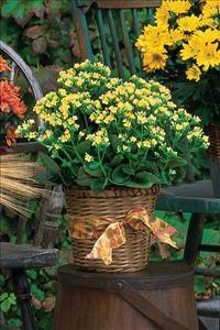 Yellow Kalanchoe Plant by The Foliage Shoppe