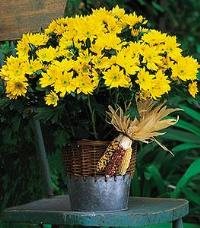 Yellow Daisy Mum Plant by The Foliage Shoppe
