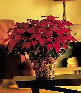 "8"" Red Poinsettia by The Foliage Shoppe"