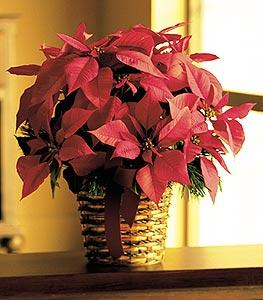 "6"" Red Poinsettia by The Foliage Shoppe"