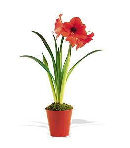 Amaryllis Plant by The Foliage Shoppe