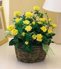 Yellow Miniature Roses by The Foliage Shoppe