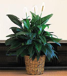 "12"" Spathiphyllum by The Foliage Shoppe"