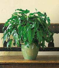 Xanadu Philodendron by The Foliage Shoppe