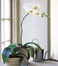 White Phalaenopsis Orchid by The Foliage Shoppe