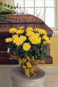 Yellow Blooming Chrysanthemum by The Foliage Shoppe